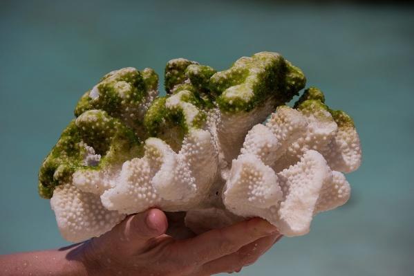 Сбор и хранение кораллов в Таиланде запрещены законом