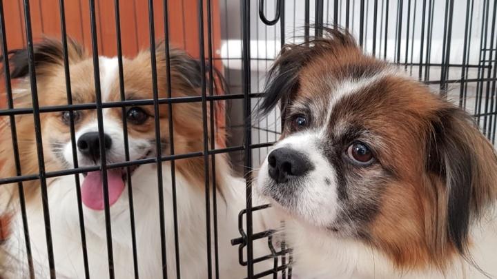 В Екатеринбурге выхаживают двух маленьких собачек, которые всю жизнь провели в клетках