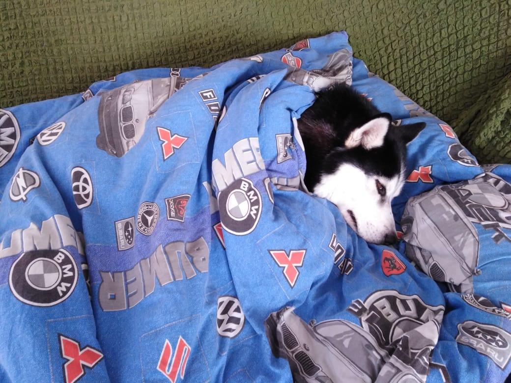 Это фото прислал Ринат Азинбаев-Мухин. В -40 его собака выживает под одеялом на диване (и мы ее можем понять!)