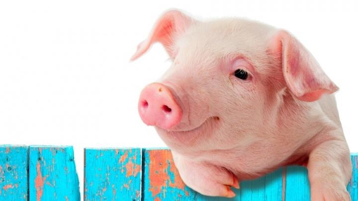Онлайн-игра: найди свинку, похожую на тебя, и получи предсказание на Новый год