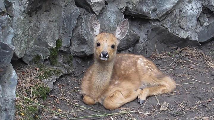 В Новосибирском зоопарке родились маленькие косули: они строят глазки и жуют траву