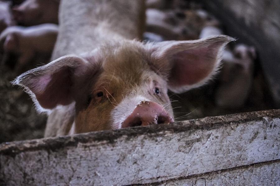 Карантинные посты установили вОмске из-за распространения африканской чумы свиней