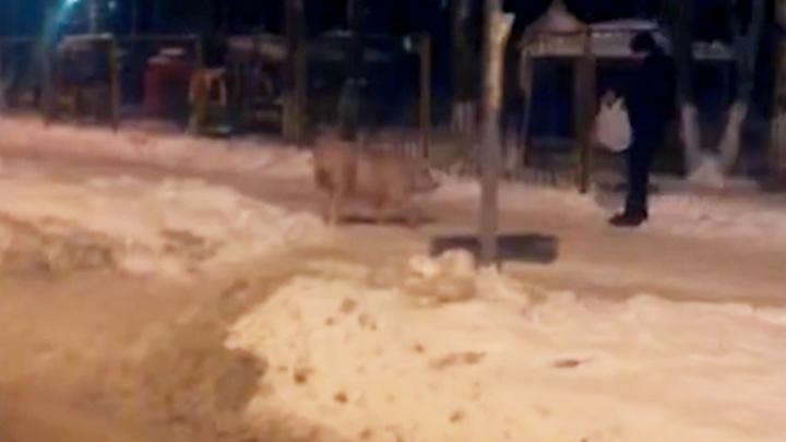 «Ты откуда, свинка?»: по улицам Ярославля разгуливает хряк