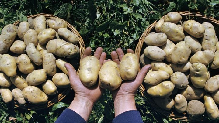 Картошка, прощай!