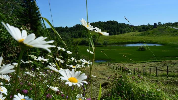 Полевые цветы и большая порция солнца: очень летний фоторепортаж из музея-юбиляра «Малые Корелы»