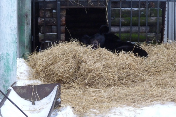 На снимке —гималайский медведь Кузя. Он начал готовиться к спячке ещё в начале ноября, но до сих пор так и не уснул