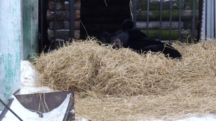 ВБольшереченском зоопарке в зимнюю спячку впали четыре медведя