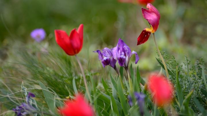 Тюльпаны и ирисы: фоторепортаж с экофестиваля «Воспетая степь» в Ростовской области