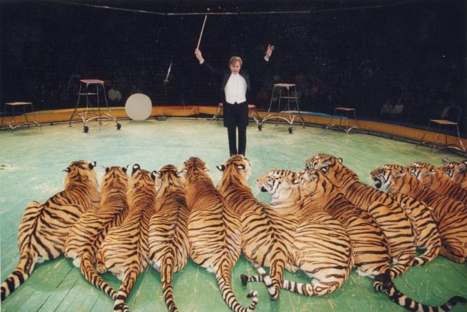Ни в одном цирке мира ещё не выпускали на сцену 12 тигров одновременно