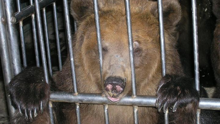 Сломала клетку: в Волгоградской области 15 полицейских с автоматами ищут сбежавшую медведицу