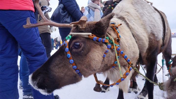 Женский день с рогами: как в Пинежском районе прошел «Праздник оленя»