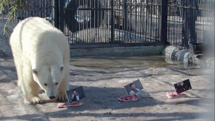 Медведям зоопарка в Красноярске доверили предсказать выборы президента на Украине. Мнения разошлись
