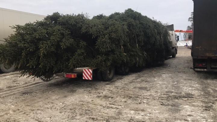 Попытка №2: дорожники разрешили провезти по трассе гигантскую ёлку для Екатеринбурга