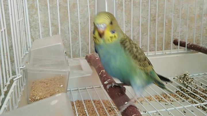 Милый попугайчик сбежал от хозяев и прилетел в педуниверситет к студентам