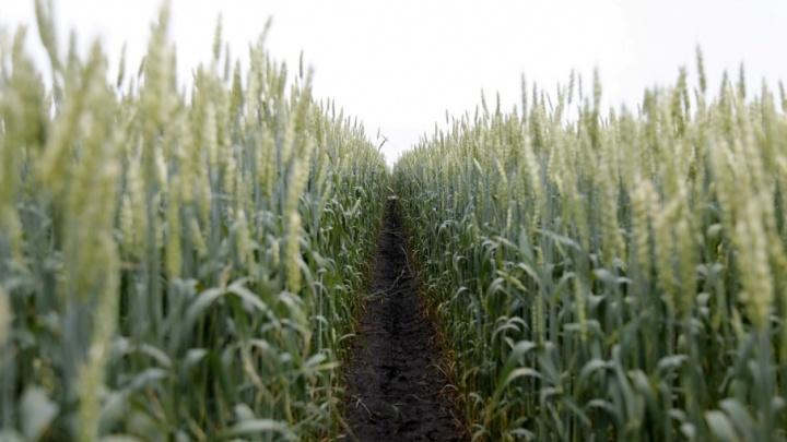 Шадринский район стал королем полей – он лидирует по темпам сбора урожая