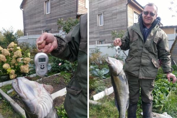 По словам рыбака, он выловил огромного судака из ямы в реке Бердь