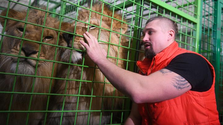 «Если бы я полез в клетку, все бы закончилось плачевно»: дрессировщик — о драке львов в Екатеринбургском цирке