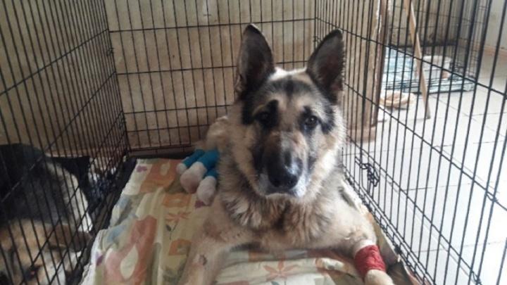 «Макс сможет ходить»: псу, найденному в Прикамье с отрубленными лапами, пересадили кожу