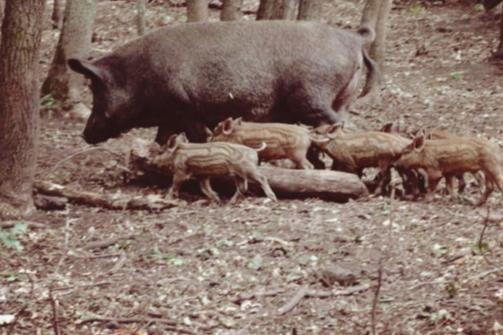 АЧС заражаются кабаны и домашние свиньи