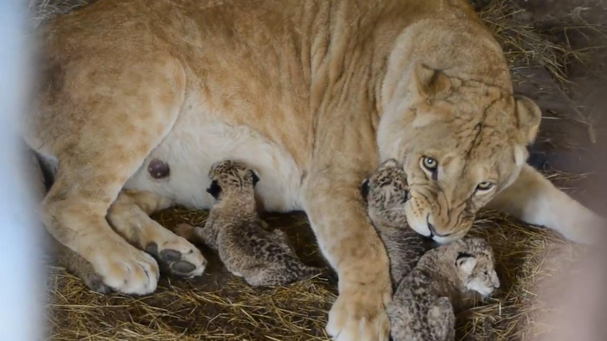 Лола принесла потомство второй раз, но материнский инстинкт у неё проснулся только сейчас