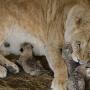 """«Стала """"я же мать""""»: челябинская львица Лола обзавелась потомством в крымском зоопарке"""