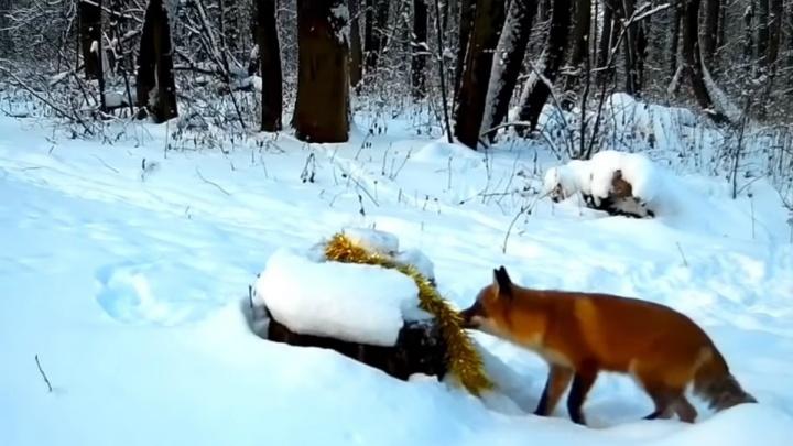 Лиса и торт: под Уфой в фотоловушку попала лисичка с новогодним подарком