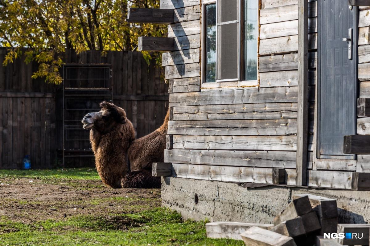 Верблюду Васе ориентировочно 7–8 лет. Живет в подворье месяц. Питается сеном, овощами: капуста, морковка. За 30 секунд может съесть булку хлеба. Купили его в Мошковском районе за 90 тысяч. Прошлый хозяин говорит, что по весне начёсывал с него 5 мешков шерсти