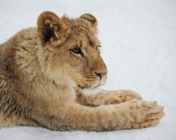 Как африканский львенок зимует в башкирском селе: фоторепортаж Ufa1