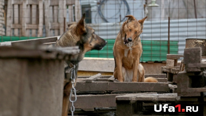 Карантин по бешенству в Уфе: домашние животные привиты повторно