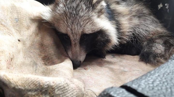 «Боли были страшные»: дальнобойщик подобрал на трассещенка енотовидной собаки со сломанными лапами