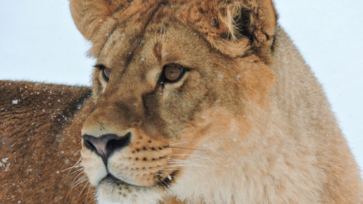 Новая любовьЯроса: в Ярославском зоопарке образовалась полноценная львиная семья