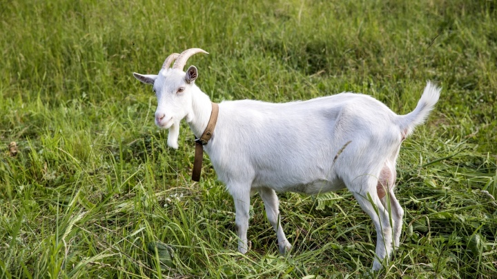 Ярославна решила продать козла и лишилась 40 тысяч рублей