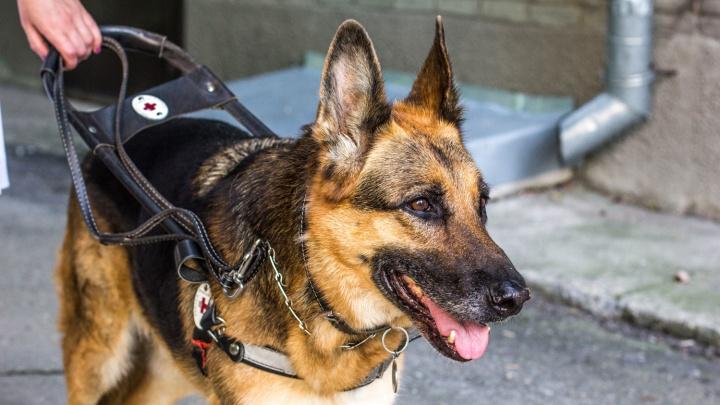 Сбербанк нашёл 100 тысяч для собак-проводников незрячих новосибирцев