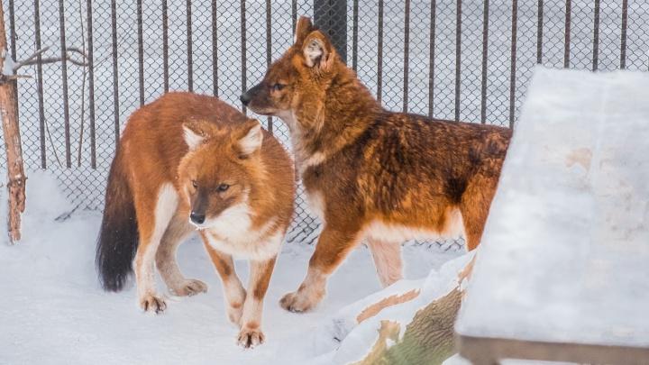«Примем шубки, горжетки и муфты»: пермяков попросили приносить в зоопарк ненужные меховые изделия