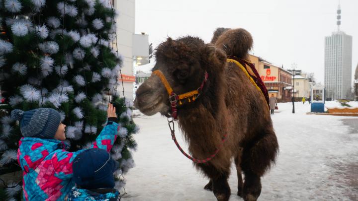 «Люся думает, что она лошадка»: как живет единственная верблюдица в Архангельске