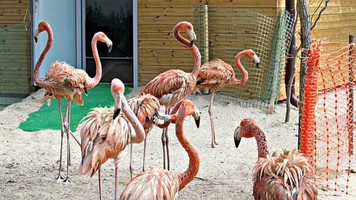 Новые фламинго освоились в Новосибирском зоопарке и начали урчать