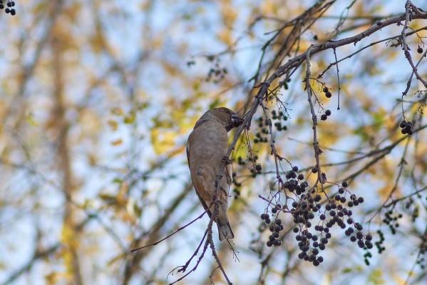 По мнению орнитолога, дубоносов можно будет наблюдать в течение зимы