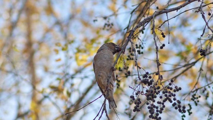 В Новосибирск прилетели птицы, которых раньше считали краснокнижными
