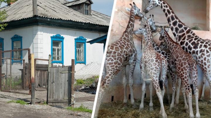 Зоопарк требует от мэрии снести три частных дома — это место застолбили под комплекс для жирафов