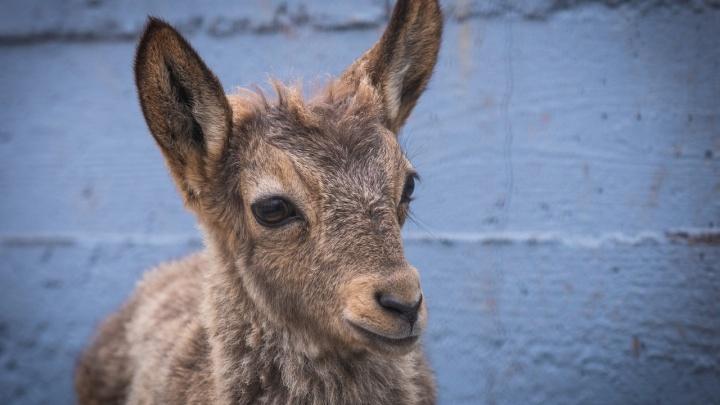 В зоопарке посетители до смерти закормили 10-месячного козлёнка