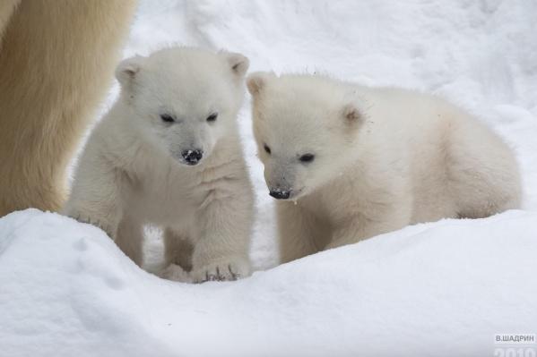 Рождённые в зоопарке белые медвежата оказались братом и сестрой