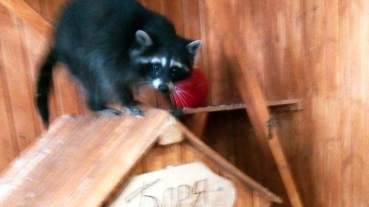 Для енота Бориса из екатеринбургского контактного зоопарка нашли подругу Лису со скверным характером