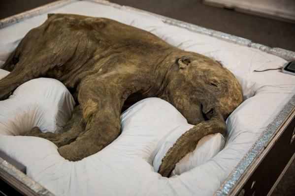Люба — одна из двух мамонтят, которых нашли в вечной мерзлоте на Ямале. Такие находки очень редки — обычно находят кости и другие останки животных, не сохранившиеся целиком