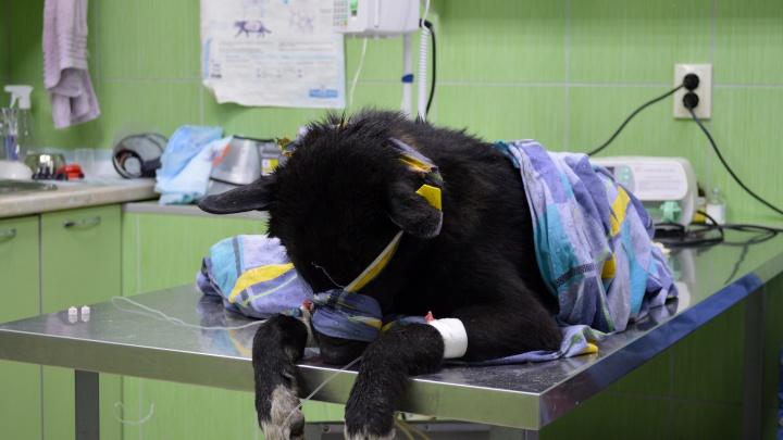 «Не смогла проехать мимо». Пермячка спасла бездомного щенка, сбитого машиной