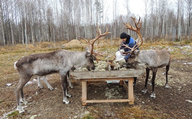 Веники и ягель: что кушают нижегородские олени зимой