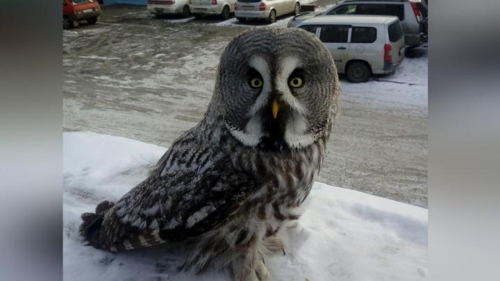 Милая сова показалась жителям «Солнечного»