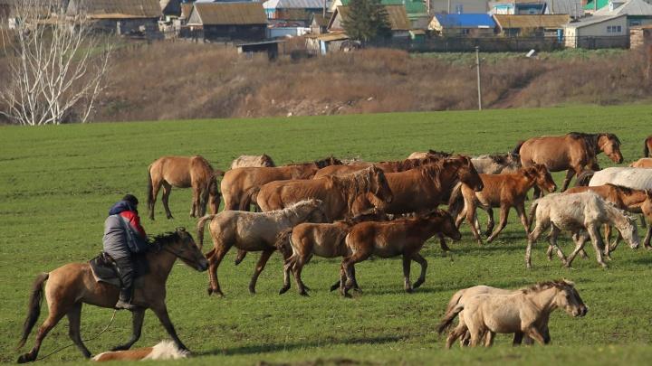 Табун уходит в небо: в Башкирии у фермера увели 49 лошадей