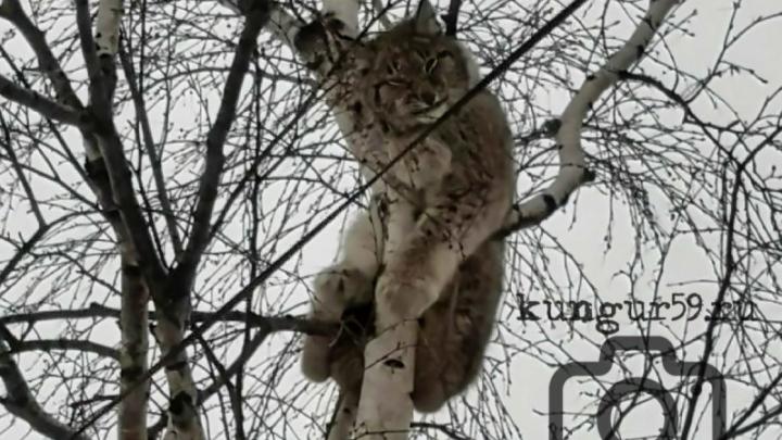 «Могла испугаться снегоходов». Жители Кунгура обнаружили рысь на дереве рядом с лесотехникумом