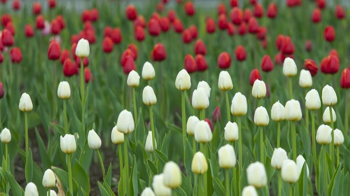 Город в тюльпанах: смотрим на самые красивые места для цветочных селфи в Екатеринбурге