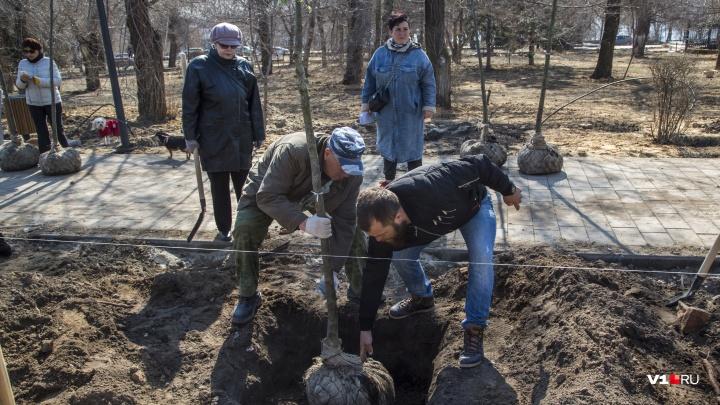 «Огромные деревья загородят нам храм»: на набережной Волгограда посадили аллею «худых» лип